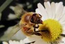 Biene versteckt sich
