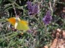 gelber Zitronenfalter im Lavendel
