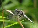 Libelle im Gras