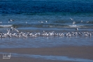 Lachmöwen am Strand der Dühne