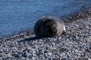 Helgoland-Robben _34
